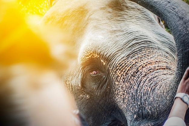 Nahes hohes des elefantkopfes Premium Fotos