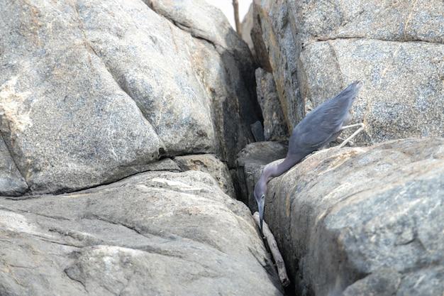Nahrungssuche erwachsener kleiner blaureiher egretta caerulea Kostenlose Fotos