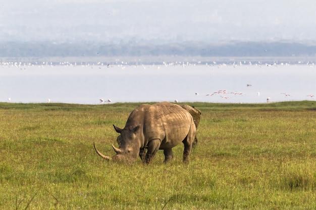 Nakuru strand. weißes nashorn, kenia Premium Fotos