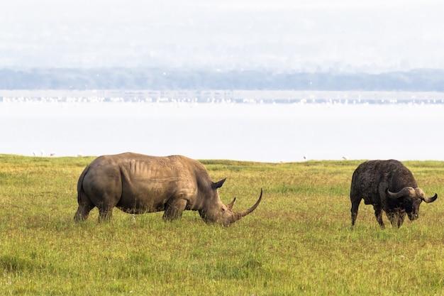 Nashorn am ufer des nakuru sees. kenia, afrika Premium Fotos