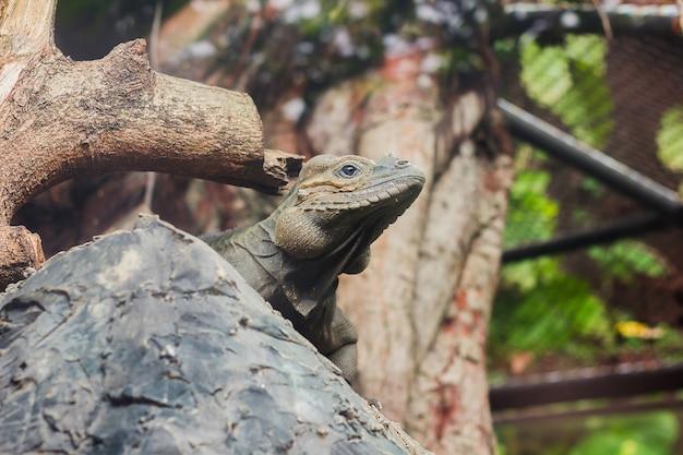 Nashorn-leguan ist ein seltenes wildes tier. Premium Fotos