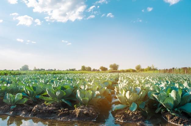 Natürliche bewässerung landwirtschaftlicher kulturen, bewässerung. kohlplantagen wachsen auf dem feld. Premium Fotos