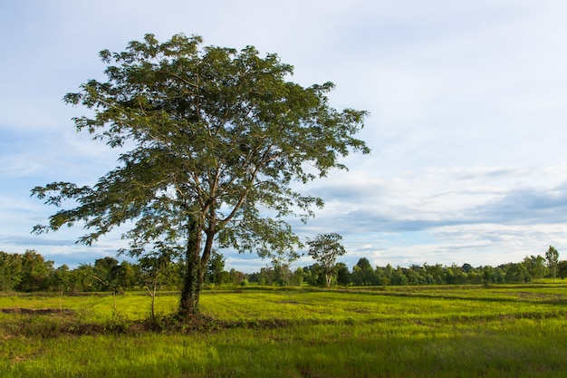 Natürlicher großer einsamer baum auf dem grünen reisgebiet Premium Fotos
