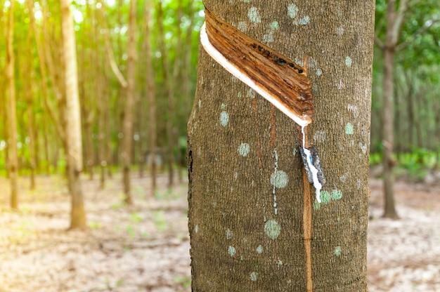 Naturlatex zum abtropfen von einem gummibaum auf einer gummibaumplantage Premium Fotos