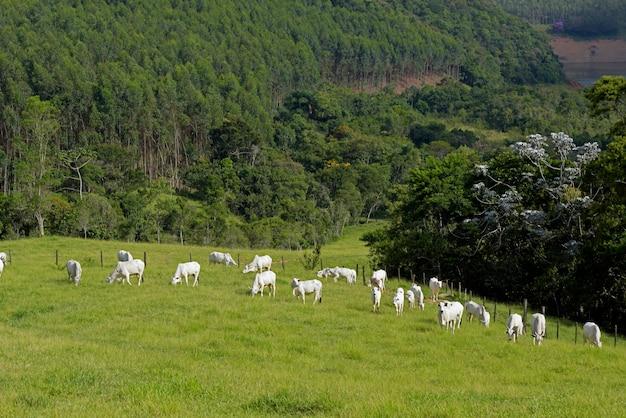 Nelore-vieh in der weide in brazill-landschaft Premium Fotos
