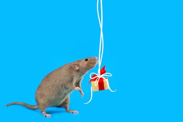 Nette dekorative ratte mit käsegeschenk und rotem bogen auf einem blau Premium Fotos