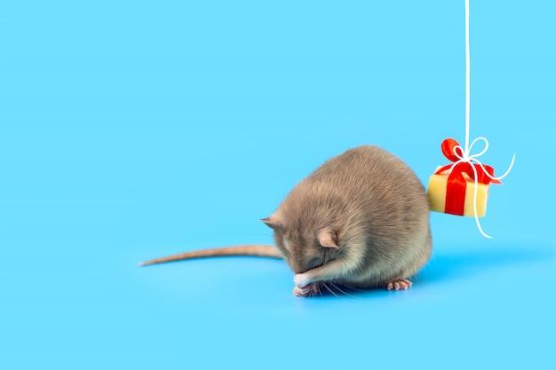 Nette dekorative ratte mit käsegeschenk und rotem bogen auf einem blauen hintergrund Premium Fotos