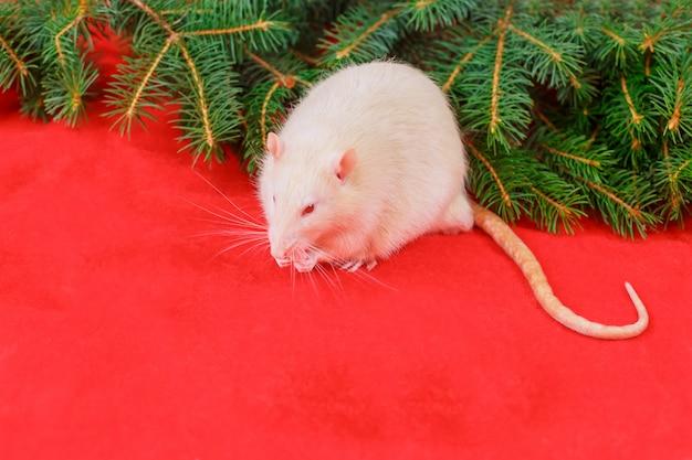 Nette weiße ratte auf weihnachtsrot Premium Fotos