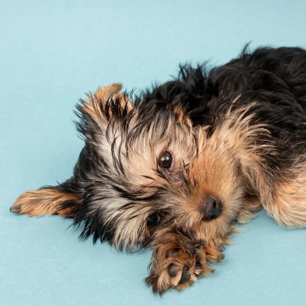 Netter, aber verschlafener yorkshire terrier welpe auf dem boden Kostenlose Fotos
