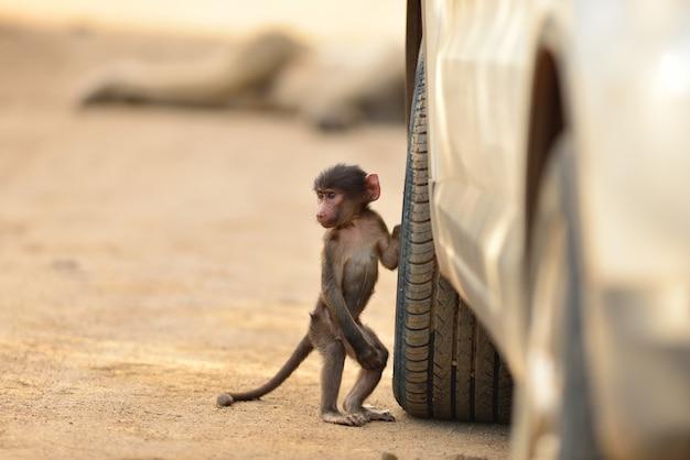 Netter babypavian durch einen autoreifen auf einer schotterstraße Kostenlose Fotos
