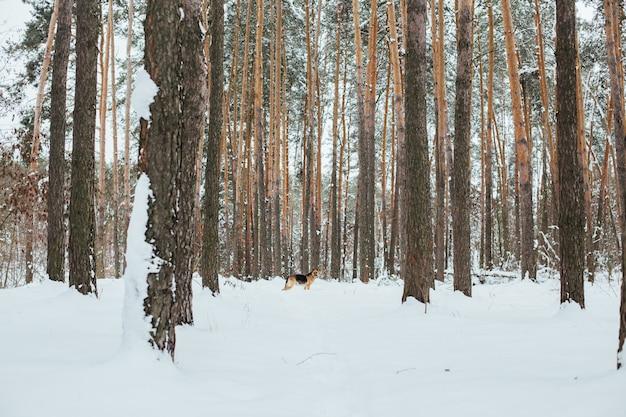 Netter deutscher schäferhund im schneewald im winter Kostenlose Fotos
