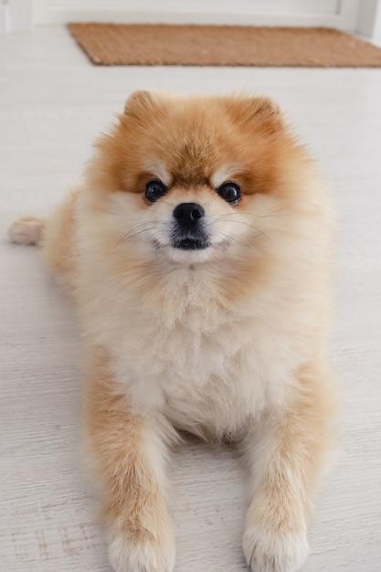 Netter flauschiger pommerscher spitzhund, der auf dem boden liegt und direkt in die kamera schaut Premium Fotos