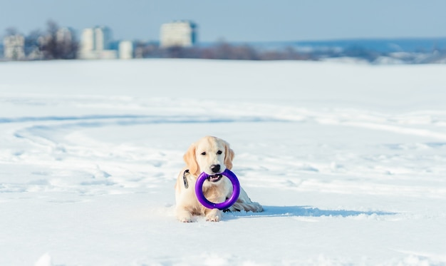 Netter gesunder hund, der auf schnee mit spielzeugring im mund liegt Premium Fotos