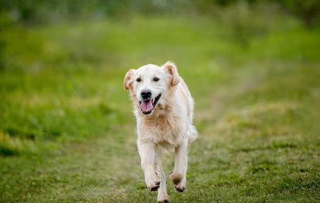 Netter golden retriever hund, der auf frühlingsnatur läuft Premium Fotos