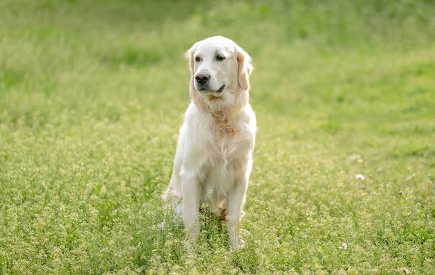 Netter goldener retrieverhund, der auf blühendem feld sitzt Premium Fotos