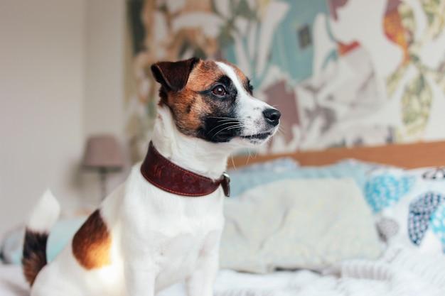 Netter hündchen jack russell-terrier, der kamera im schlafzimmer betrachtet Premium Fotos