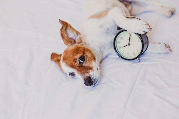 Netter hund, der auf bett mit einem wecker eingestellt auf 8 uhr morgens liegt. morgen und wachen konzept zu hause auf. Premium Fotos