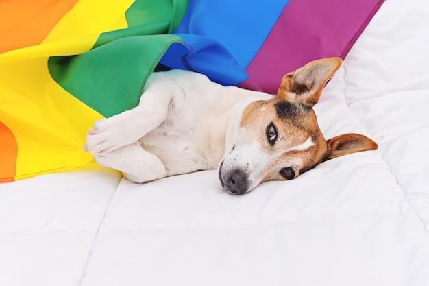 Netter hundesteckfassung russell eingewickelt in der regenbogen lgbt-flagge, die auf weißem bett liegt Premium Fotos