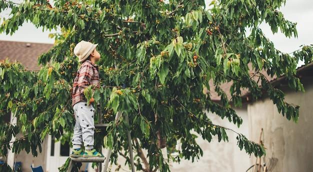 Netter kaukasischer junge, der kirschen vom baum aufnimmt, der einen hut trägt und eine leiter benutzt Premium Fotos