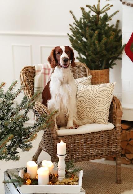 Netter kleiner hund auf einem weihnachtlich geschmückten wohnzimmer Kostenlose Fotos