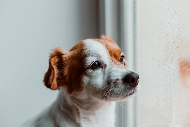Netter kleiner hund, der am fenster sitzt. hund, der gelangweilt oder traurig schaut. Premium Fotos