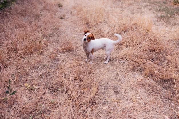 Netter kleiner hund sitzt am abend mitten in einem kornfeld bei sonnenuntergang kleiner lachender hund draußen liebe für tierkonzept Premium Fotos