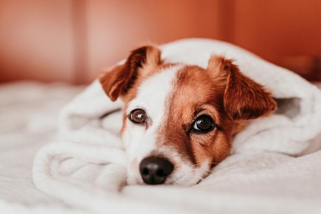 Netter kleiner jack russell hund, der auf bett an einem sonnigen tag ruht, der mit einer decke bedeckt ist Premium Fotos