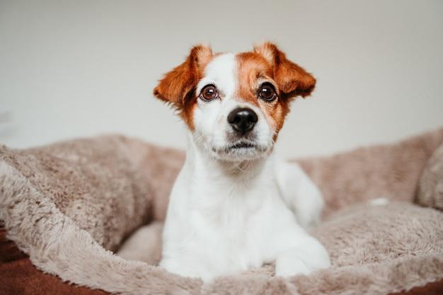 Netter kleiner jack russell-hund, der auf seinem bett, kamera untersuchend liegt Premium Fotos