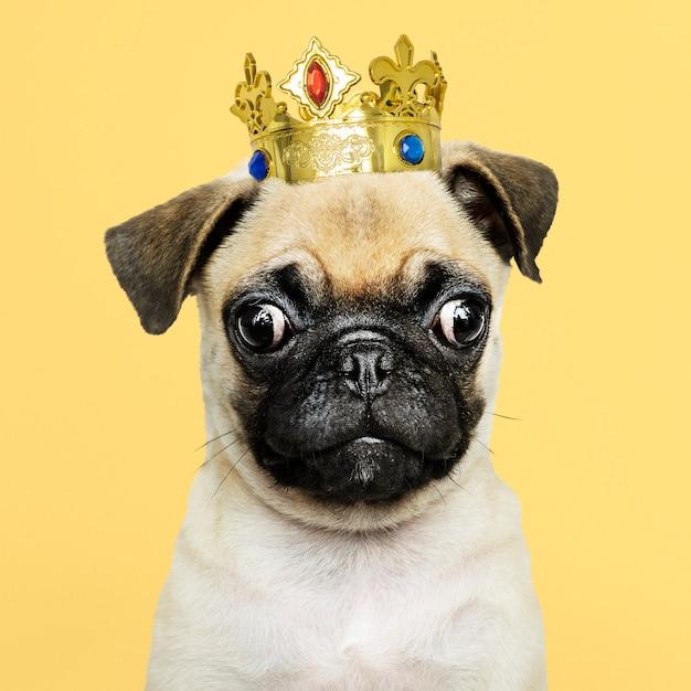 Netter pugwelpe in einer goldkrone Kostenlose Fotos