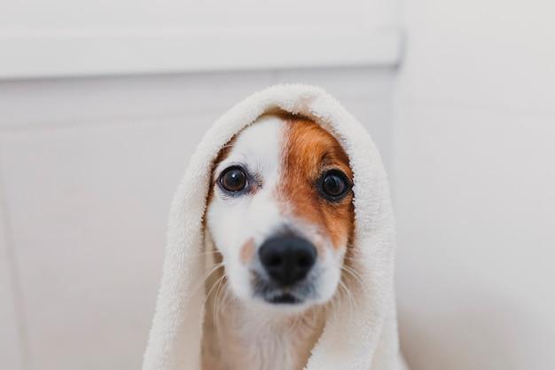 Netter reizender kleiner hund nass in der badewanne. inhaber der jungen frau, der ihren hund zu hause getrocknet erhält Premium Fotos