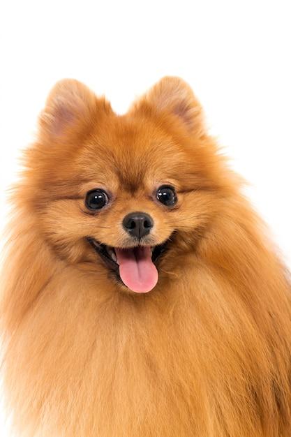 Netter spitzhund Kostenlose Fotos
