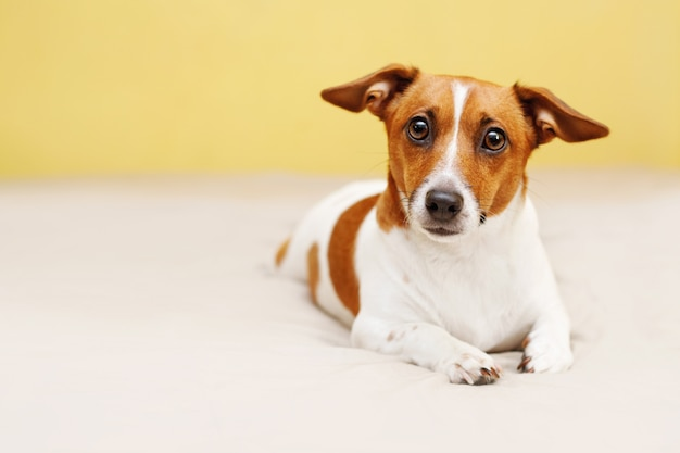 Netter steckfassungsrussell-hund, der auf bett liegt und in camera schaut. Premium Fotos