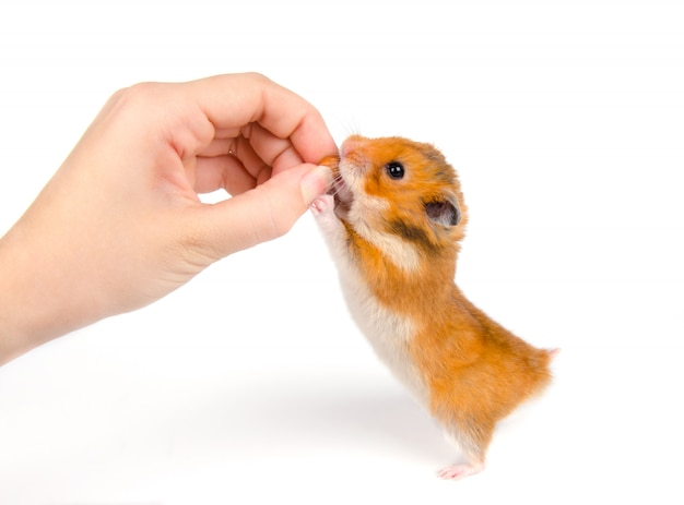 Netter syrischer hamster, der eine nuss von einer menschlichen hand nimmt Premium Fotos