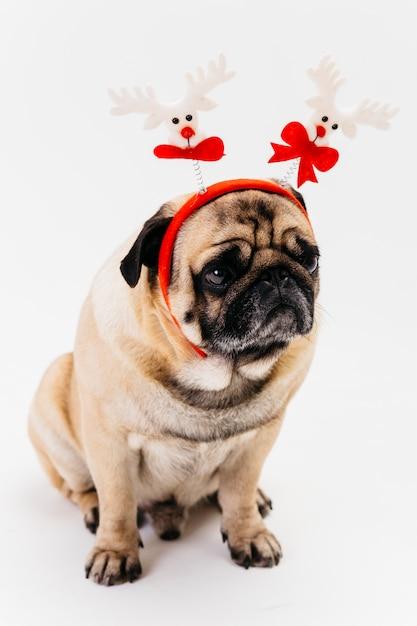 Netter weihnachtsmops im weißen und roten stirnband Kostenlose Fotos