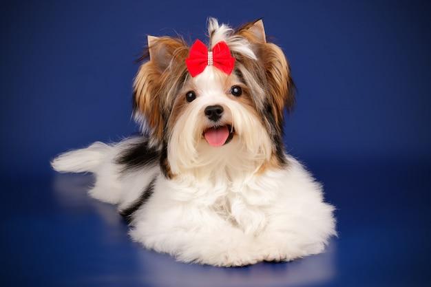 Netter yorkshire terrier auf farbiger wand Premium Fotos