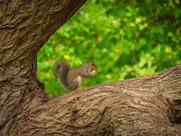 Nettes eichhörnchen, das haselnuss auf einem baum mit einem verschwommenen hintergrund isst Kostenlose Fotos
