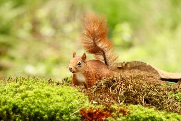 Nettes eichhörnchen, das nach nahrung in einem wald sucht Kostenlose Fotos