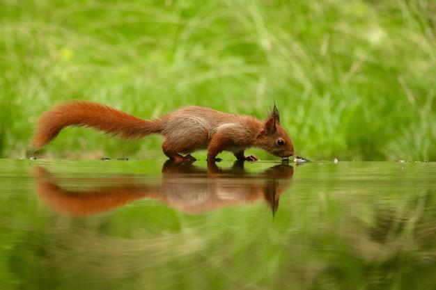 Nettes eichhörnchen-trinkwasser von einem see in einem wald Kostenlose Fotos