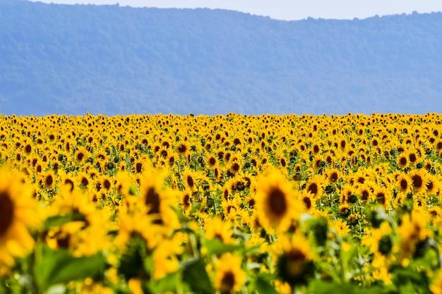 Nettes feld von sonnenblumen an einem sonnigen tag. alava, baskenland, spanien Premium Fotos