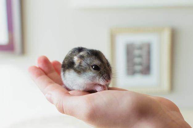 Nettes hamsterhaustier, das auf der hand eines inhabers isst. Premium Fotos