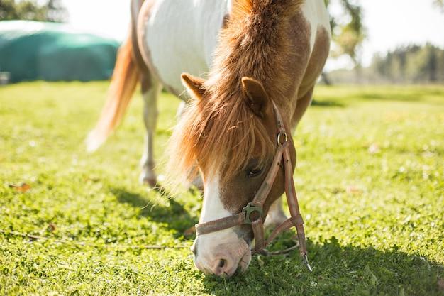 Nettes kleines pony, das in der landseite weiden lässt Premium Fotos