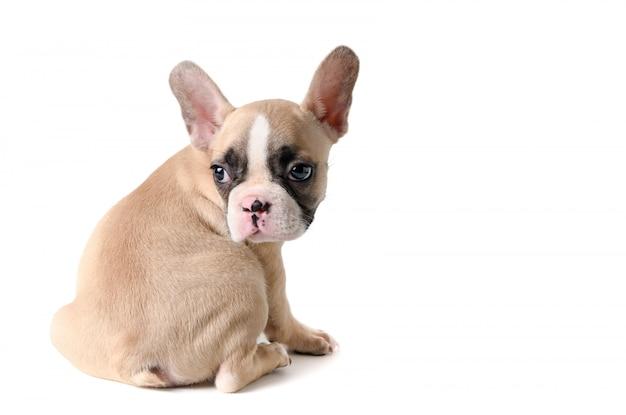 Nettes kleines sitzen der französischen bulldogge lokalisiert Premium Fotos
