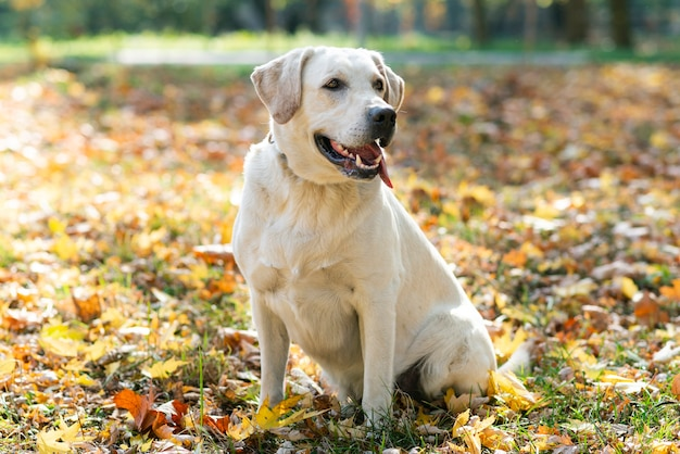 Nettes labrador draußen im park Kostenlose Fotos