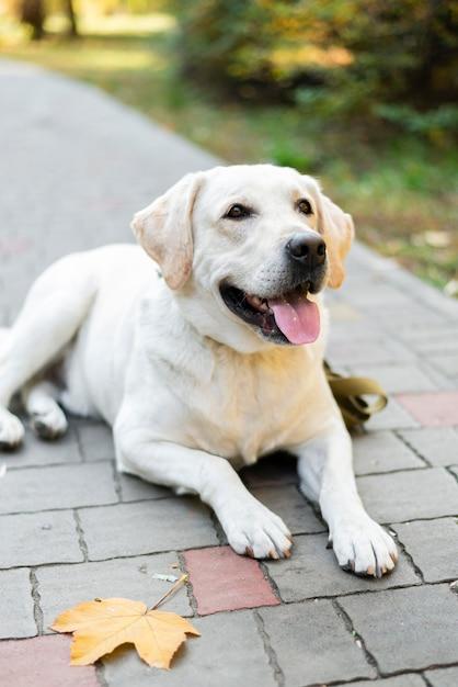 Nettes lächeln labradors im freien Kostenlose Fotos