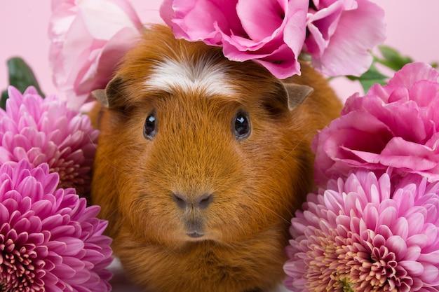 Nettes lustiges meerschweinchen unter schönen rosa blumen Premium Fotos