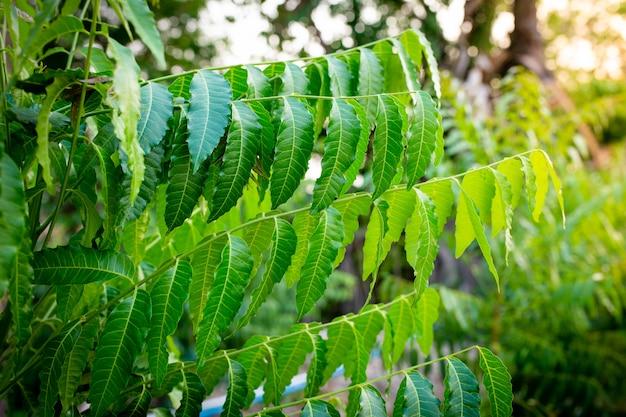 Neues oberes blatt der neempflanze. azadirachta indica - ein zweig von neembaumblättern. natürliche medizin. Premium Fotos