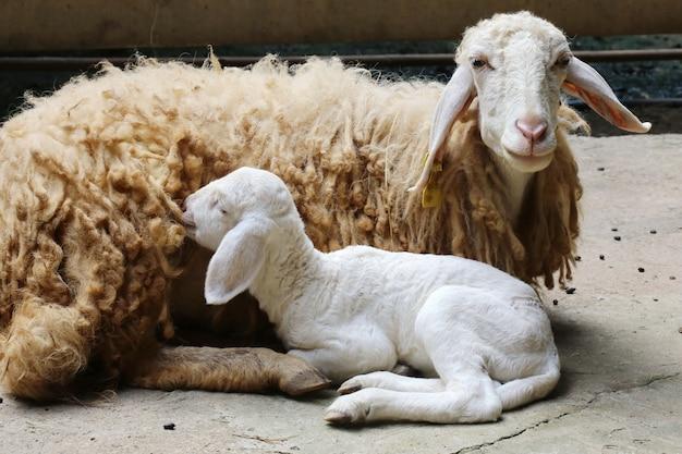 Neugeborene schafe Premium Fotos