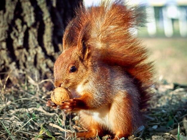 Neugieriges europäisches eichhörnchen. Premium Fotos