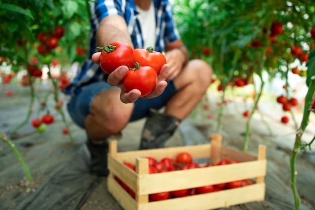 Nicht erkennbarer bauer, der tomaten in seiner hand hält, während er in der bio-lebensmittelfarm steht Kostenlose Fotos