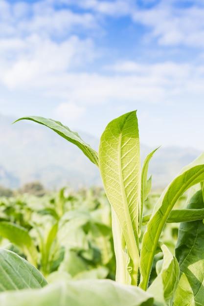 Nicotiana tabacum krautige pflanze Premium Fotos